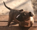 Bull Terrier Puppy For Sale in RICHLAND, OR, USA