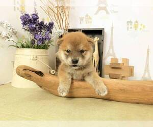 Shiba Inu Puppy for sale in TACOMA, WA, USA