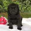 Golden Labrador Puppy For Sale in GAP, PA, USA