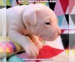 Small #31 Dogo Argentino