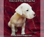Small Photo #12 Dogo Argentino Puppy For Sale in PINEVILLE, MO, USA