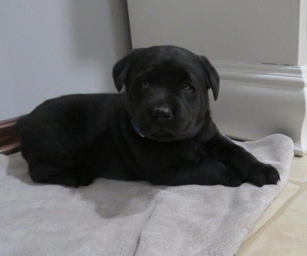 Medium Photo #1 Labrador Retriever Puppy For Sale in MILLERSBURG, OH, USA