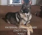 Small #17 German Shepherd Dog-Wolf Hybrid Mix