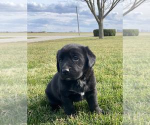Medium Bernese Mountain Dog-Labrador Retriever Mix