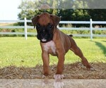 Small Photo #3 Boxer Puppy For Sale in CHILHOWEE, MO, USA