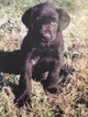 Labrador Retriever Puppy For Sale in FORT DEPOSIT, AL, USA