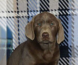 Labrador Retriever Puppy for sale in DANVILLE, PA, USA