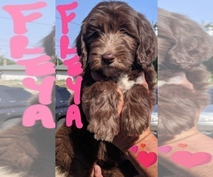 F2 Aussiedoodle Puppy for Sale in OKC, Oklahoma USA