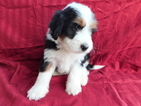 Miniature Bernedoodle Puppy For Sale in DUNDEE, OH, USA