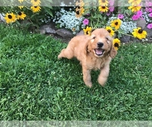 Goldendoodle-Poodle (Miniature) Mix Puppy for Sale in CURTISS, Wisconsin USA