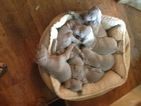 Weimaraner Puppy For Sale in MAIDEN, NC