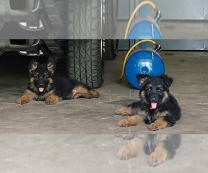 German Shepherd Dog Puppy for sale in SAINT CHARLES, MI, USA