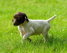 German Shorthaired Pointer Puppy For Sale in SAINT JOHN, WA, USA