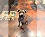 Small #134 American Pit Bull Terrier Mix