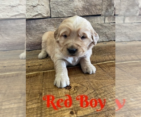 Medium Photo #8 Golden Retriever Puppy For Sale in ROGERSVILLE, MO, USA