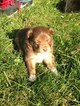 Miniature Australian Shepherd Puppy For Sale in REEDSBURG, WI