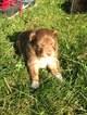 Miniature Australian Shepherd Puppy For Sale in REEDSBURG, WI