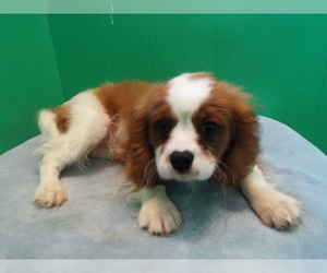 Cavalier King Charles Spaniel Puppy for Sale in PATERSON, New Jersey USA