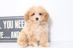 Poodle (Toy) Puppy For Sale in NAPLES, FL, USA