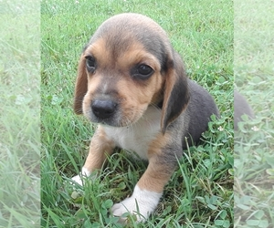 Beagle Puppy for sale in ALVATON, KY, USA