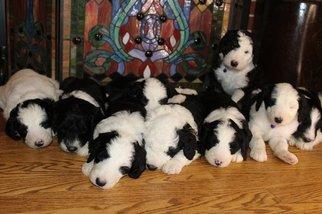 Sheepadoodle Dog for Adoption in LIBERTY TNSP, Ohio USA