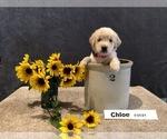 Puppy 7 Golden Retriever
