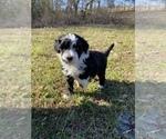Small #11 Portuguese Water Dog