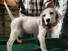 English Setter Puppy For Sale in BLACKSBURG, VA