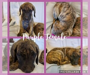 Great Dane Puppy for Sale in WEATHERFORD, Texas USA