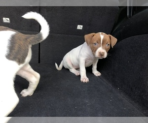 American Pit Bull Terrier Puppy for Sale in DETROIT, Michigan USA