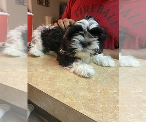 Shih Tzu Puppy for Sale in BENSON, Arizona USA