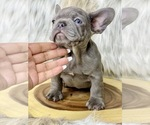 Small Photo #2 French Bulldog Puppy For Sale in OJAI, CA, USA