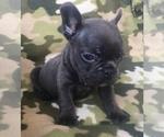 Small #41 French Bulldog