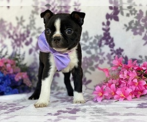 Boston Terrier Puppy for sale in LANCASTER, PA, USA