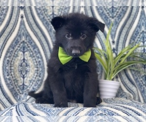 German Shepherd Dog Puppy for sale in LAKELAND, FL, USA