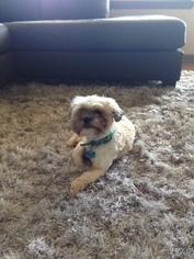 Shih Tzu Dog For Adoption in GREENVILLE, SC, USA