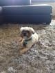 Shih Tzu Dog For Adoption in GREENVILLE, SC, USA