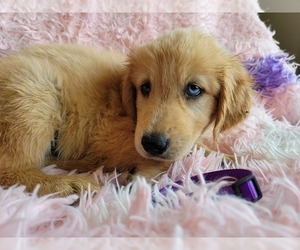 Goberian Puppy for Sale in APPLE VALLEY, California USA