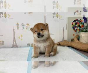 Shiba Inu Dog for Adoption in TEMPLE CITY, California USA