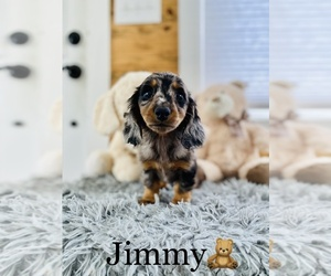 Dachshund Puppy for sale in COOKEVILLE, TN, USA