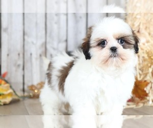 Shih Tzu Dog for Adoption in MOUNT VERNON, Ohio USA