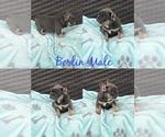 French Bulldog Puppy For Sale in ESCONDIDO, CA, USA