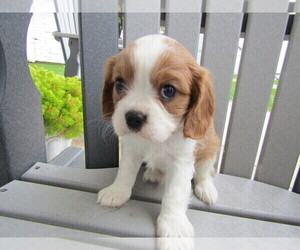 Cavalier King Charles Spaniel Dog for Adoption in CASCADE, Michigan USA