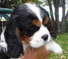 View Ad Cavalier King Charles Spaniel Puppy For Sale Near