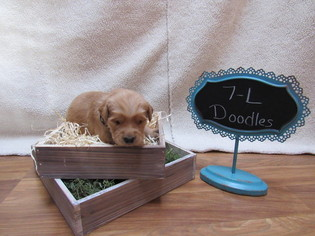 Goldendoodle Puppy For Sale in SHINGLE SPRINGS, CA