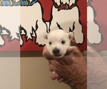Small #3 West Highland White Terrier