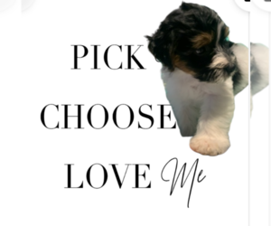 Morkie Puppy for sale in FORT WORTH, TX, USA
