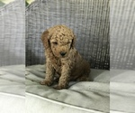 Boy mini poodle