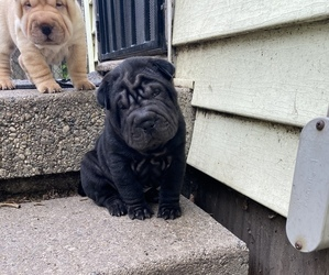 Chinese Shar-Pei Puppy for Sale in DIMONDALE, Michigan USA