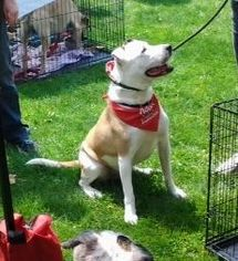 Biscuit - Cattle Dog / American Bulldog / Mixed Dog For Adoption